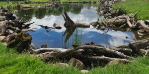 Wildlife pond with bogwood